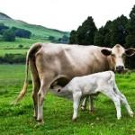 Amberleigh Cow and calf